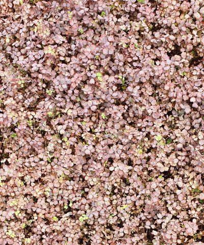 Acaena-inermis-purpurea
