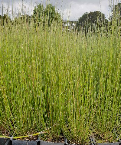 Apodasmia-similis