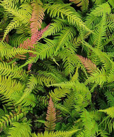 Blechnum-parrisiae-Doodia-australis