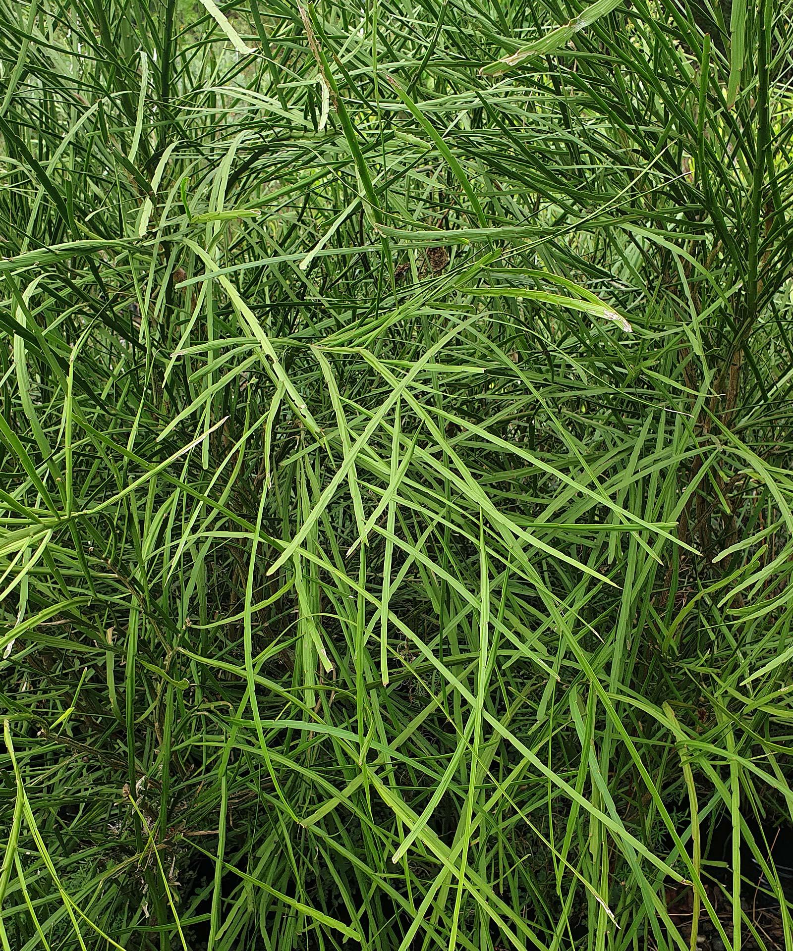 Carmichaelia-australis