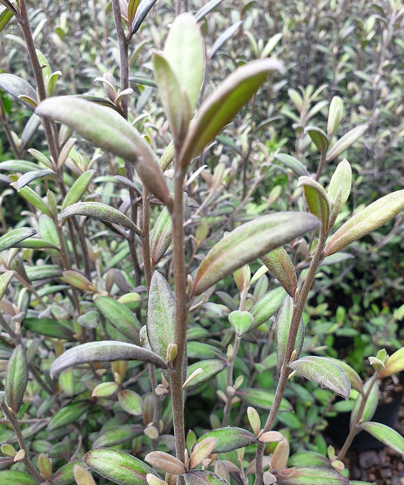 Corokia-Frosted-Chocolate