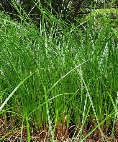 Cyperus-ustulatus