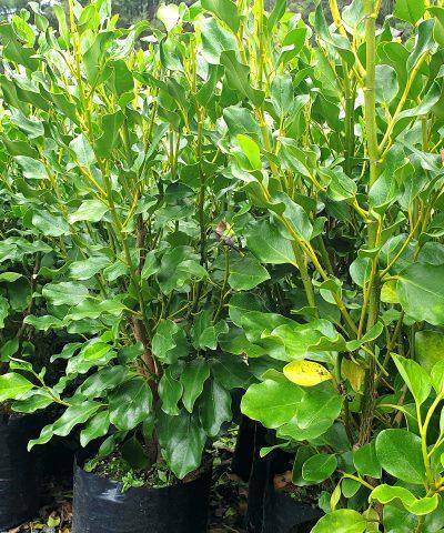riselinia-Broadway-Mint-PB18