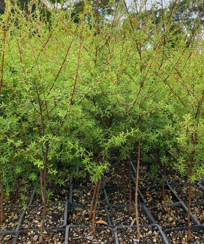 Kunzea-robusta
