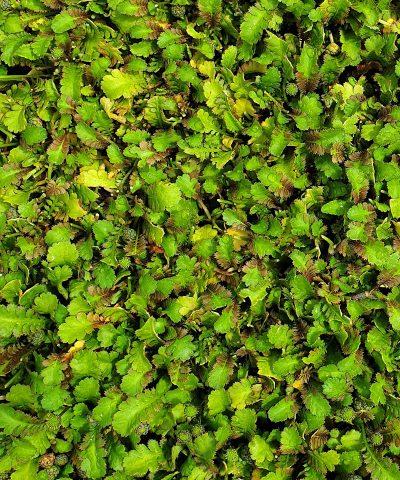 Leptinella-dispersa-sub-rupestre