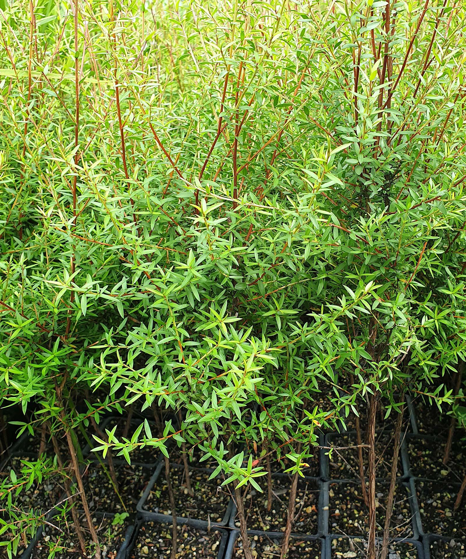 Leptospermum-scoparium