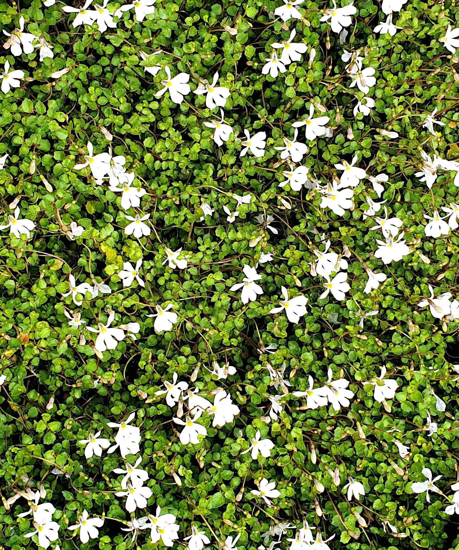 Lobelia-pratia-angulata