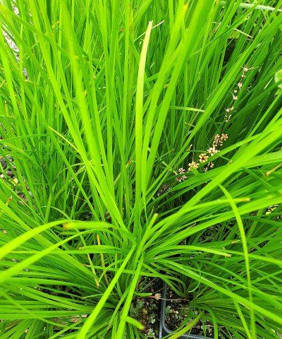 Lomandra-longifolia-Tanika