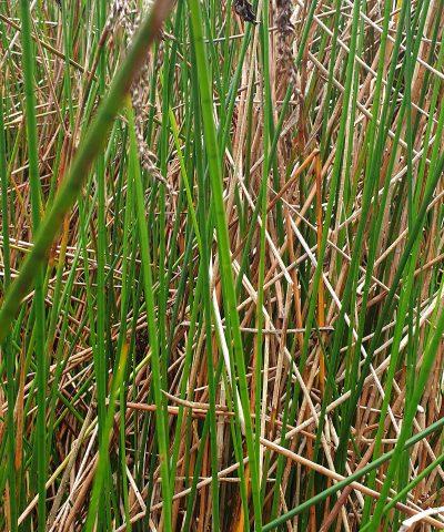 Machaerina-articulata-Baumea