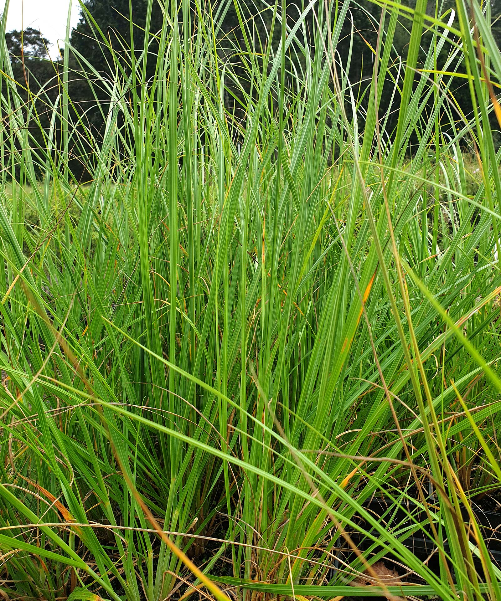 stock-carex-geminata